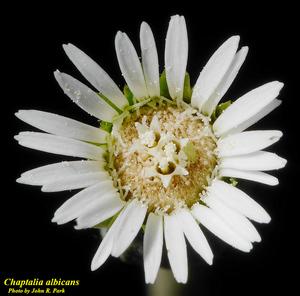 Chaptalia albicans