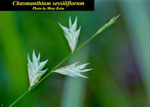 Chasmanthium sessiliflorum