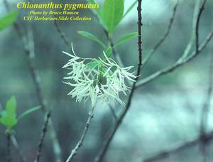 Chionanthus pygmaeus