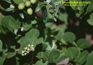 Chrysobalanus icaco