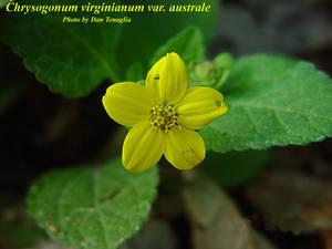 Chrysogonum virginianum var. australe