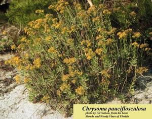 Chrysoma pauciflosculosa