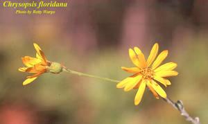 Chrysopsis floridana
