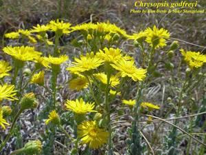 Chrysopsis godfreyi