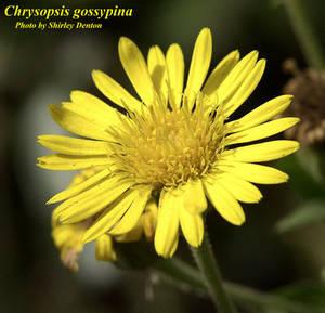 Chrysopsis gossypina