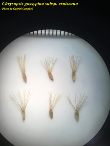 Chrysopsis gossypina subsp. cruiseana