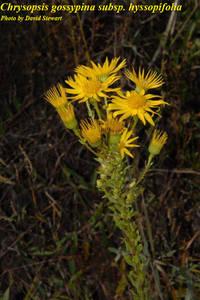 Chrysopsis gossypina subsp. hyssopifolia