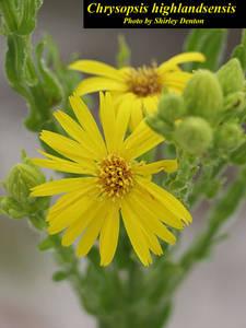 Chrysopsis highlandsensis