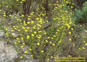 Chrysopsis lanuginosa