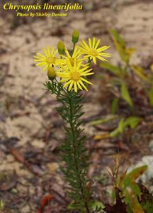 Chrysopsis linearifolia
