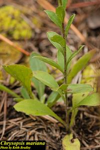 Chrysopsis mariana