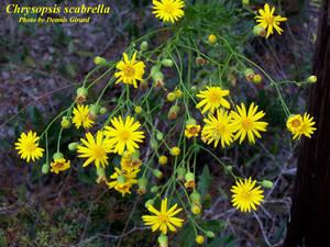 Chrysopsis scabrella