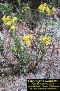 Chrysopsis subulata