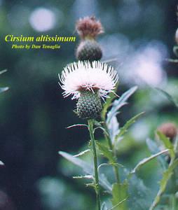 Cirsium altissimum