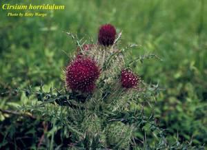Cirsium horridulum