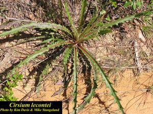 Cirsium lecontei