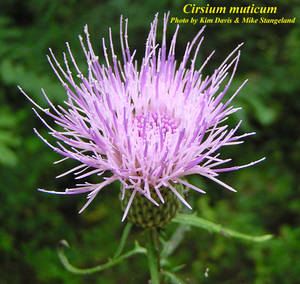 Cirsium muticum