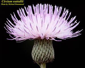 Cirsium nuttallii