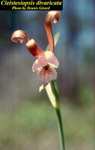 Cleistesiopsis divaricata
