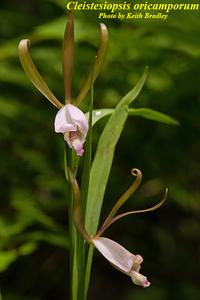 Cleistesiopsis oricamporum