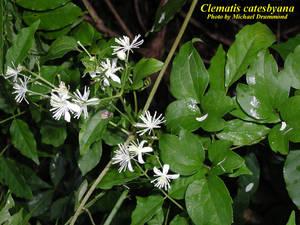 Clematis catesbyana