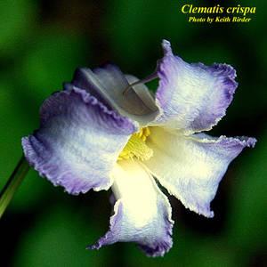 Clematis crispa
