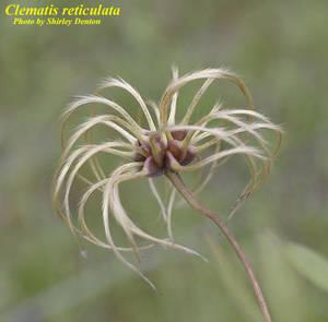 Clematis reticulata