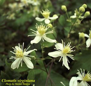 Clematis virginiana