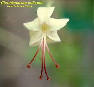 Clerodendrum indicum