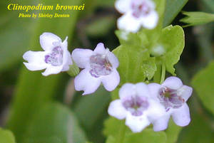Clinopodium brownei