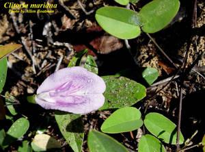 Clitoria mariana