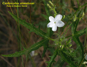 Cnidoscolus stimulosus