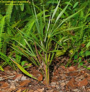 Coccothrinax argentata