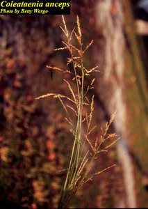 Coleataenia anceps