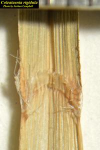 Coleataenia rigidula
