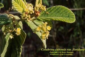 Colubrina cubensis var. floridana