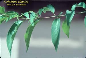 Colubrina elliptica