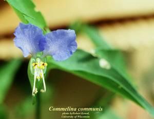 Commelina communis