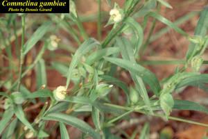 Commelina gambiae