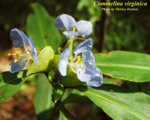 Commelina virginica