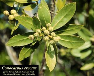Conocarpus erectus
