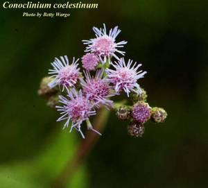 Conoclinium coelestinum