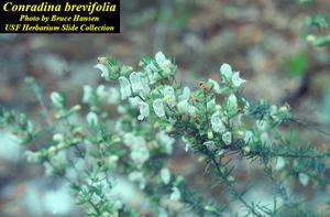 Conradina brevifolia