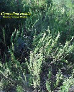 Conradina etonia