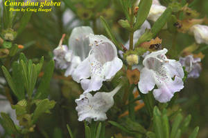 Conradina glabra