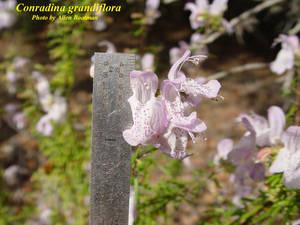 Conradina grandiflora