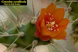 Consolea corallicola