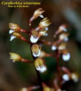 Corallorhiza wisteriana