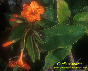 Cordia sebestena