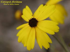 Coreopsis floridana